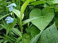Commelina diffusa 2010-07-18 017 01.jpg
