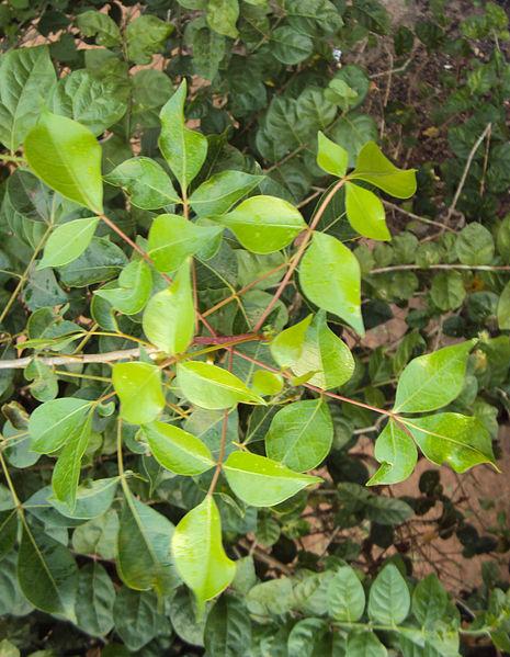 പ്രമാണം:Commiphora caudata leaves.jpg