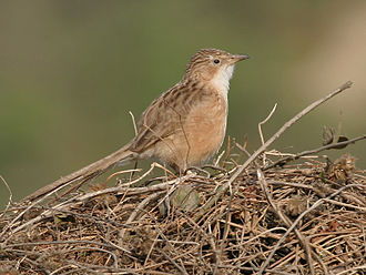 Common babbler - T. c. caudata (Haryana, India)