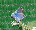 Common Blue Polyommatus icarus male (32761840586).jpg