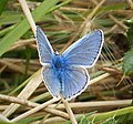 Common Blue on Thistledown (29078277737).jpg