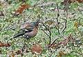 Common Chaffinch - Зяблик - Обикновената чинка (12876997665).jpg