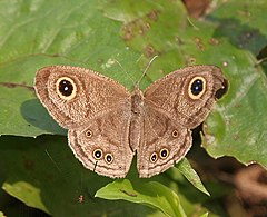 Common Five-ring (Ypthima baldus)- dry season form at Narendrapur W IMG 4162.jpg