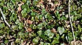 Common Ivy (Hedera helix) - Mississauga, Ontario 2019-04-22.jpg
