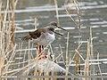 Common Redshank (Tringa totanus) (31838175480).jpg