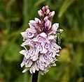 Common Spotted Orchid. Dactylohiza fuchsii with male Swollen-thighed Beetle (49209202582).jpg