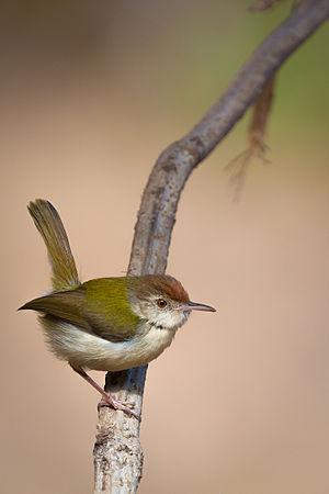 Common tailorbird - Foraging tailorbird in Sinhagad Valley