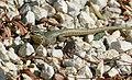 Common Wall Lizard (Podarcis muralis) male ... (43298419340).jpg