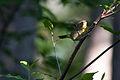 Common Yellowthroat (7235559882).jpg