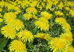 English: Common dandelions (Taraxacum officina...