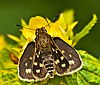 Common grass dart.jpg