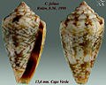 Conus felitae 2.jpg