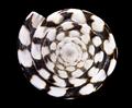 Conus marmoreusApex.png