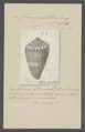 Conus punctatus - - Print - Iconographia Zoologica - Special Collections University of Amsterdam - UBAINV0274 086 05 0005.tif