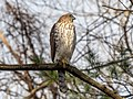 Cooper's hawk in Prospect Park (22502).jpg