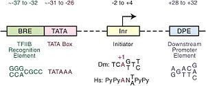 Initiator element - Image: Core promoter elements
