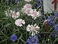 Corn Flower from Lalbagh flower show Aug 2013 8095.JPG