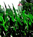 Corn is Thriving (2614197844).jpg