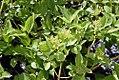 Cornus stolonifera Buds Yellow 0zz.jpg