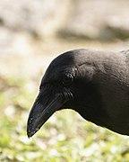 Corvus splendens @ Kuala Lumpur (4s, p12).jpg