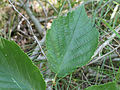 Corylus americana 5474403.jpg