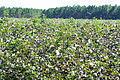 Cotton field, Ware County, GA, US.jpg