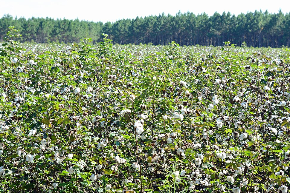 Cotton field, Ware County, GA, US