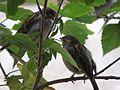 Couple of Egypt Nile birds.jpg