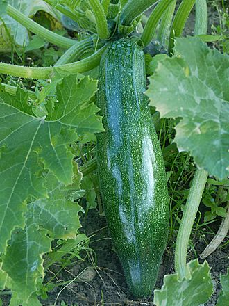 Zucchini - Harvest-ready, though not yet full-grown zucchini on plant; the glossy skin is progressively lost after the first week following anthesis.