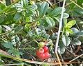 Cowberry (Vaccinium vitis-idaea) - Oslo, Norway (02).jpg