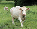 Cows at Great Waltham village, Essex, England 07.jpg