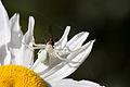 Crab spider with prey.jpg