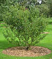 Crataegus pinnatifida, RBGE 2008.jpg