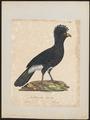 Crax alector - 1825-1834 - Print - Iconographia Zoologica - Special Collections University of Amsterdam - UBA01 IZ16900067.tif