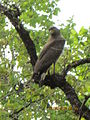 Crested serpent eagle in Khitauli zone..JPG