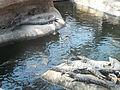 Crocodiles du Nil à table.jpg