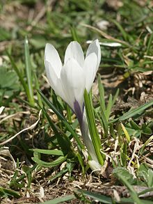 Crocus wikipedia crocus vernus subsp albiflorus section crocus series verni mightylinksfo