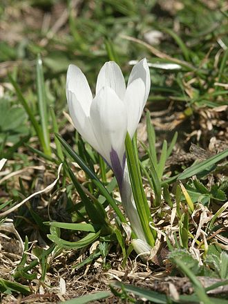 Crocus - Crocus vernus subsp. albiflorus (Section Crocus, Series Verni)