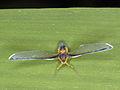 Cross-eyed plant hopper (6291054819).jpg