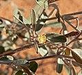 Croton californicus 4.jpg