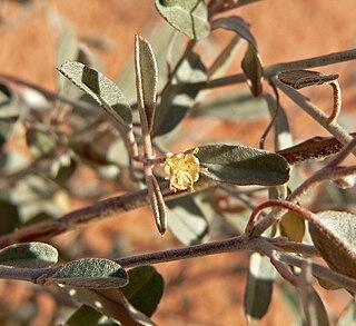 <i>Croton</i> (plant) genus of plants