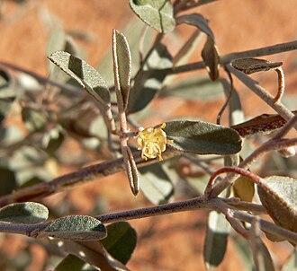 Croton (plant) - Croton californicus