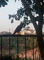 Crow with a good scene.jpg