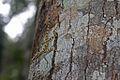Cuban Trunk Anole (Anolis argenteolus) (8597924328).jpg