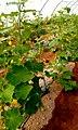 Cucumber plant.jpg