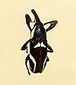Curculionidae - Alcides elegans.JPG