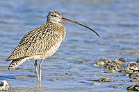 Curlew - natures pics