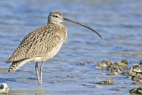 Curlew - natures pics.jpg