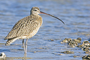 Curlew - Long-billed curlew (Numenius americanus) Fishing Pier, Goose Island State Park, Texas