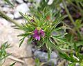 Cutleaf Geranium (Geranium dissectum) - Flickr - Jay Sturner (1).jpg